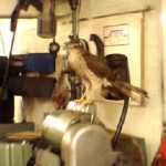 A Sparrowhawk in my workshop.