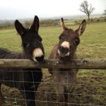 Rupert & Jerry, will eat ginger-nut biscuits, maybe carrots, and even hay at a push!!